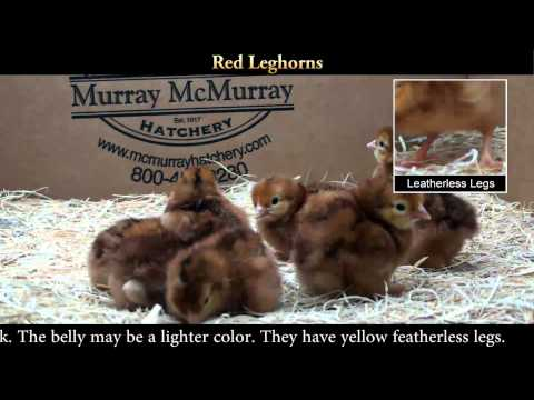 Unusual Red Leghorn Chicks
