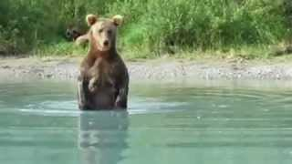 Bear Catching Salmon For Cubs