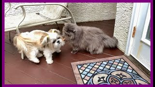 Lexi 😼 is outside with Lacey! 🐶 | Koi Goldfish pond 💦🐟 | Blue Persian cat | Shih Tzu dog 🐾