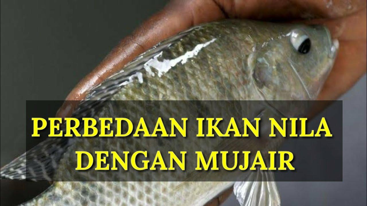 Perbedaan Ikan Nila Dengan Ikan Mujair Youtube