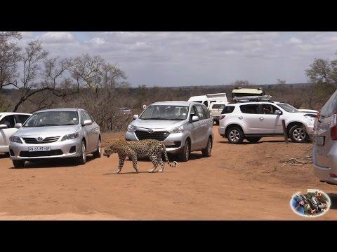 Massive Leopard Sighting Road Block
