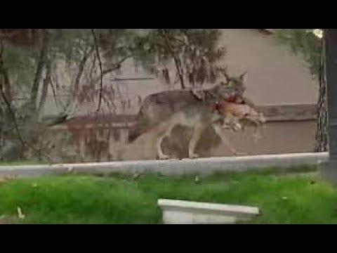Leopards and coyotes attack dogs and cats caught on camera |  Bonus Footage Dog attacks grizzly bear