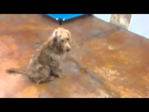 Off Leash Dog Training In Fort Lauderdale: Golden Doodle