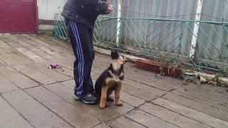 Обучение щенка немецкой овчарки №3