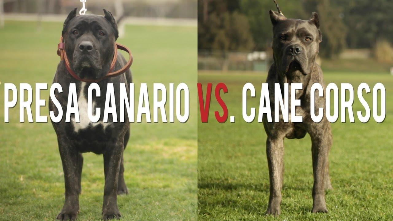 Presa Canario Vs Cane Corso In A Battle Of The Ultimate Catch Dogs