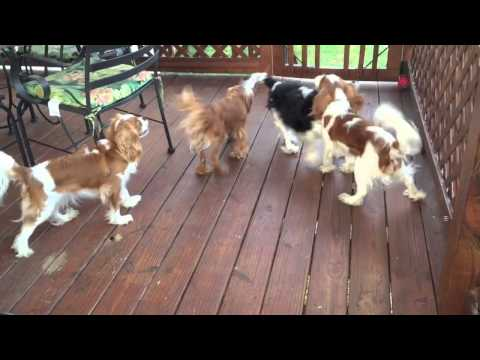 Cavalier King Charles spaniels & the Bubble Machine