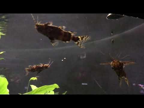 The Upside-Down Catfish Swimming Movement