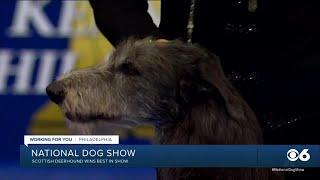 Scottish Deerhound wins Best in Show at National Dog Show