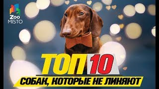 Топ 10 пород собак, которые не линяют\Top 10 breeds of dogs that do not shed
