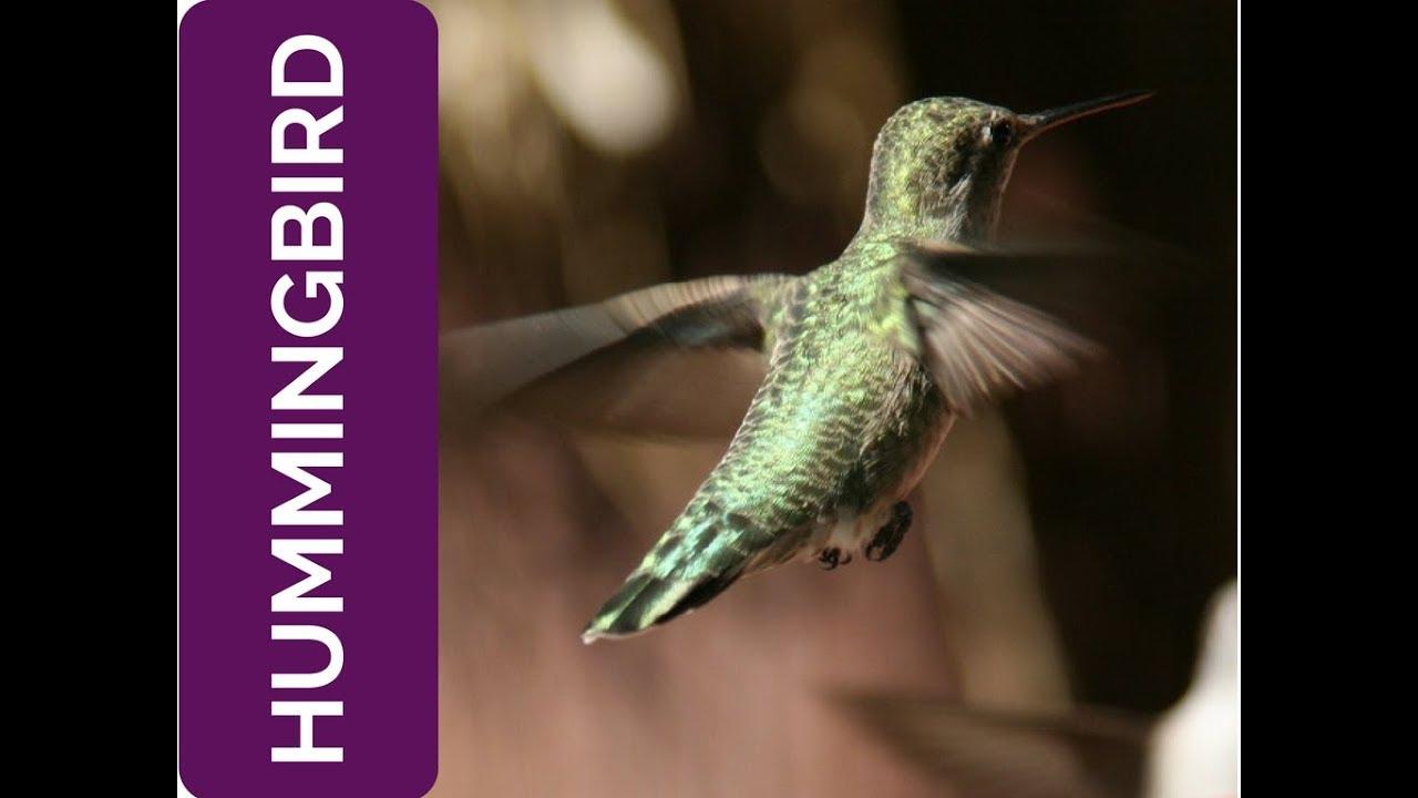 Hummingbird Meaning Savor The Sweetness Of Life Spirit Animal