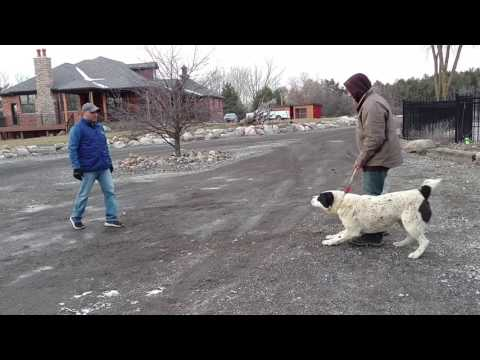 Central Asian Shepherd attack