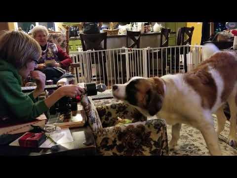 Funny Saint Bernard dog barking into microphone