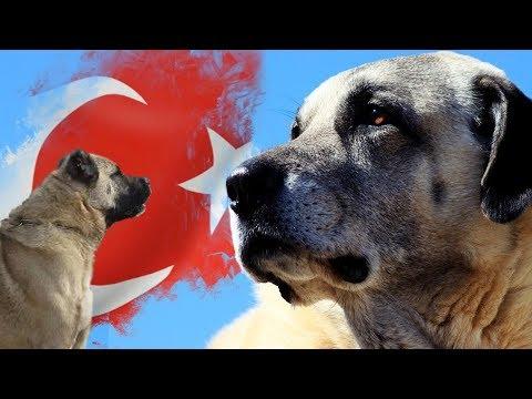 Türklere AİT 10 KÖPEK Irkı