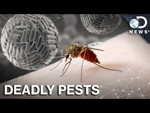 What Makes Mosquitoes The World's Most Dangerous Animal?