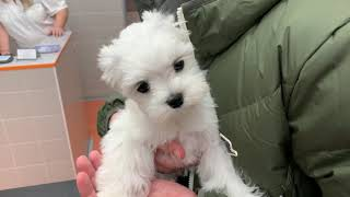 Maltese puppy goes to the doctor  How to let your dog be vaccinated?
