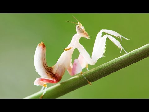 Mante orchidée : la pire des impostures  ZAPPING SAUVAGE