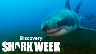 Underwater Encounter With a Massive Great White Shark