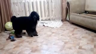 Игра пуделя дома. Воспитание собаки.