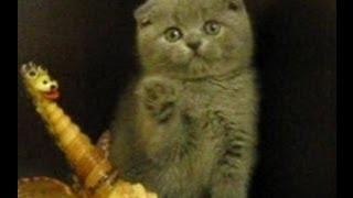 Вислоухий голубой котик 2 мес.