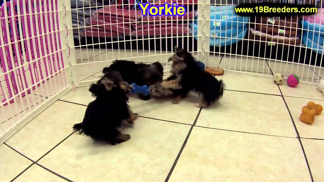 yorkshire terrier for sale mn yorkshire terrier puppies for sale in duluth 3524