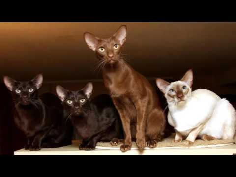 Javanese Cat, History, Personality, Coat Color And Grooming
