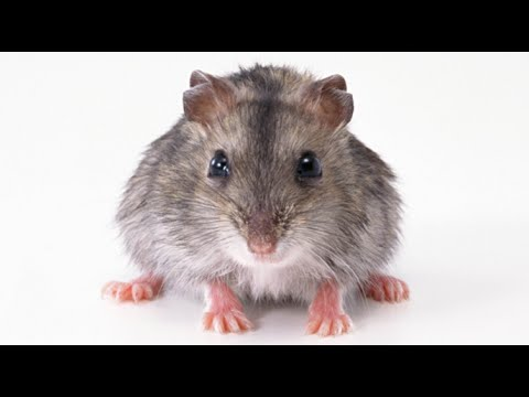 Scientists Implant Human Brain Cells In Mice To Create 'Supermouse'
