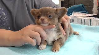Щенки ЧИХУАХУА взвешивание,как предполагаем ВЕС взрослой собаки
