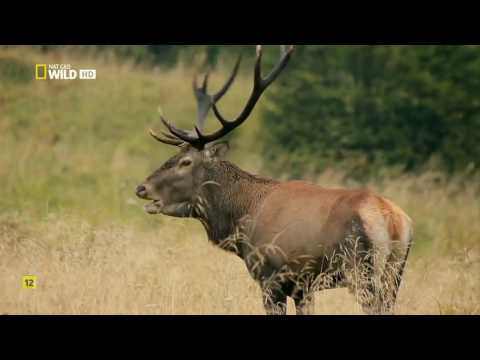 Las Montañas del Lobo | Nat Wild Geo, Documentales en Español HD