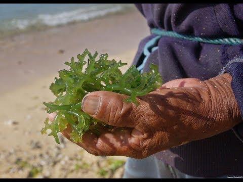 SUPER FOOD | Revealing The Health Benefits of Seaweed [Lastest News]