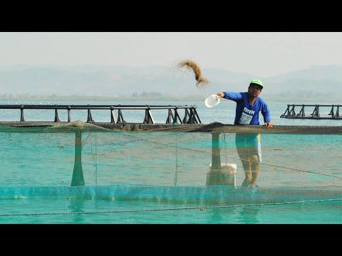 Paano Mag-alaga Ng Bangus Sa HDPE Cages | TatehTV Episode 44