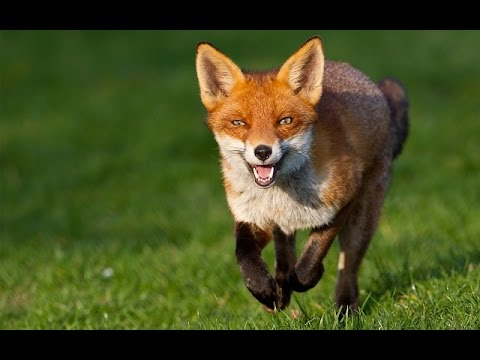 13 Amazing Facts About Foxes