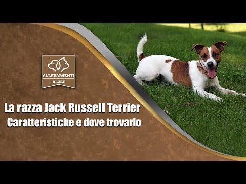 Il Jack Russell Terrier - Caratteristiche e dove trovarlo - Documentario di Allevamenti Razze