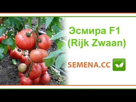 Томат Эсмира F1 (Rijk Zwaan) Культура в поле