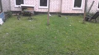 Tiny kitten adorably chases after ducks