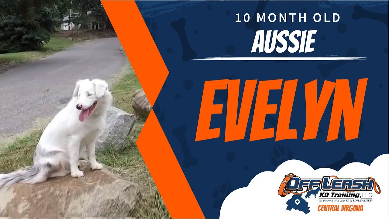 10 Mo Old Aussie Evelyn Deaf Dog Training Richmond Virginia