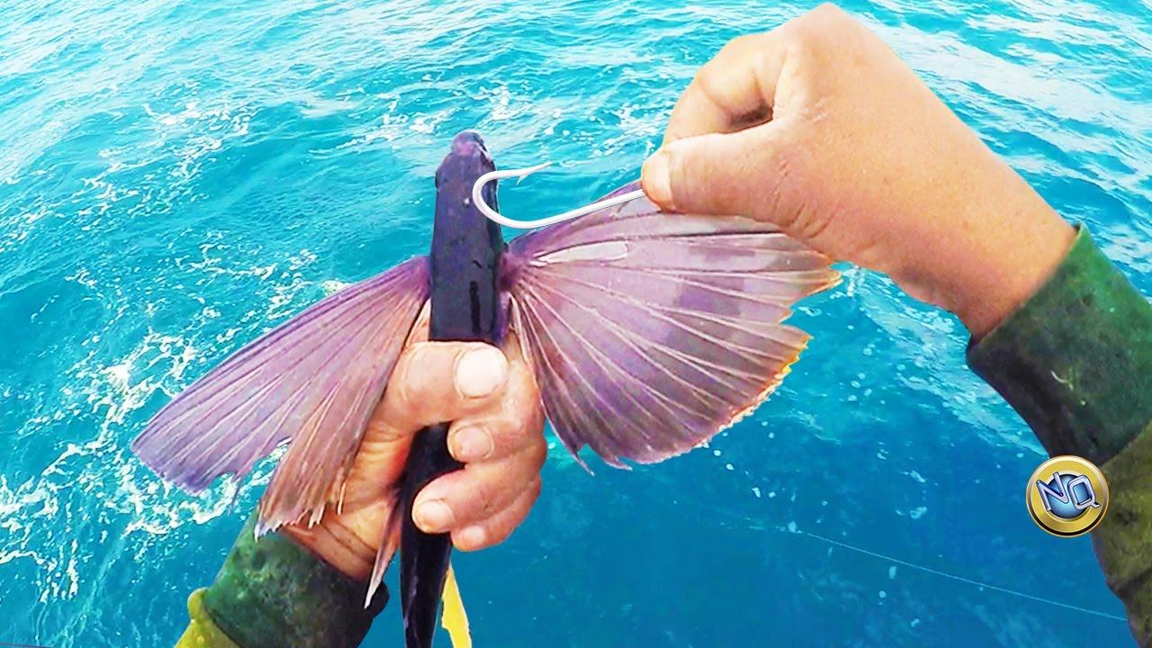 Como encarnar pez volador cebo vivo para pescar pericos for Where do flying fish live