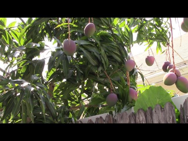 Quanh nhà ở Mỹ MVI2132: Cây XOÀI trái xum xuê đầy cành/Cây ăn trái ở Mỹ 2019