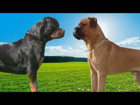 Rottweiler VS Bullmastiff   Highlights