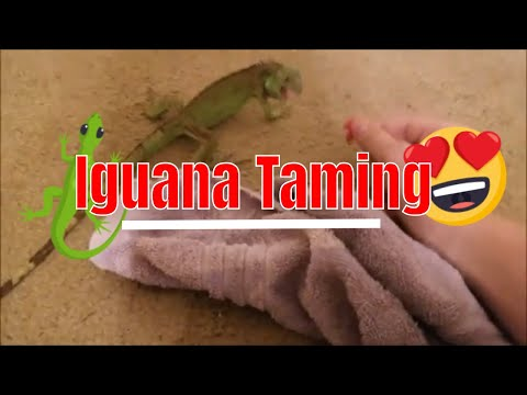 Baby Iguana Taming & Training! *SIMPLE* ( Tutorial And Information )