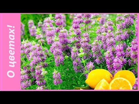 Как выглядит растение бергамот