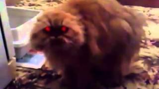 Прикол - говорящие рыжие кошки