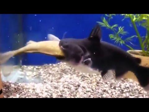 Increíble! Pez devora otro pez del mismo tamaño!