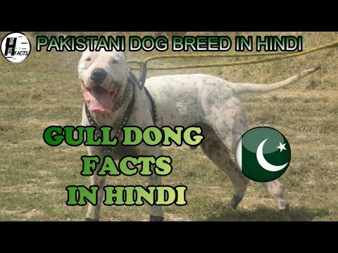 Gull Dong Facts | Hindi | PAKISTANI DOG BREEDS | HINGLISH FACTS