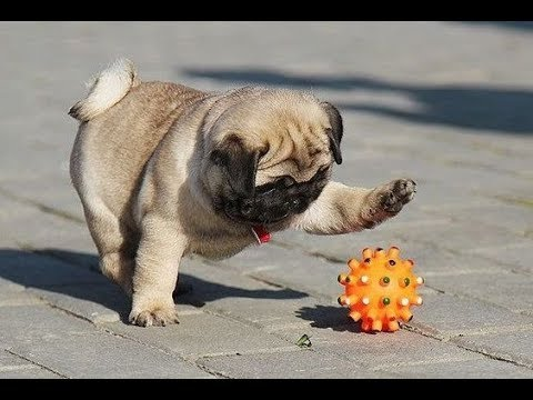 Funniest and Cutest Pug Dog Videos Compilation 2020