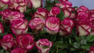 Cottage Farms 2-pc Stars of the Rose Garden on QVC