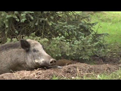 euronews (deutsch): Danzig: Wildschweine machen es sich zwischen Wohnblocks bequem