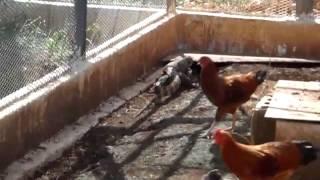 カミンギーと鶏を一緒のスペースで飼育しています。 カミンギーがとうと...