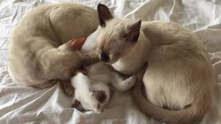 Elinga Tonkinese Cattery - Lykka is nursing her five Tonkinese boys