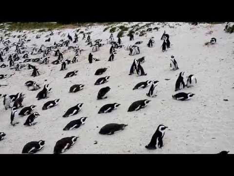 South Africa Penguins beach Release | African penguin documentary mating