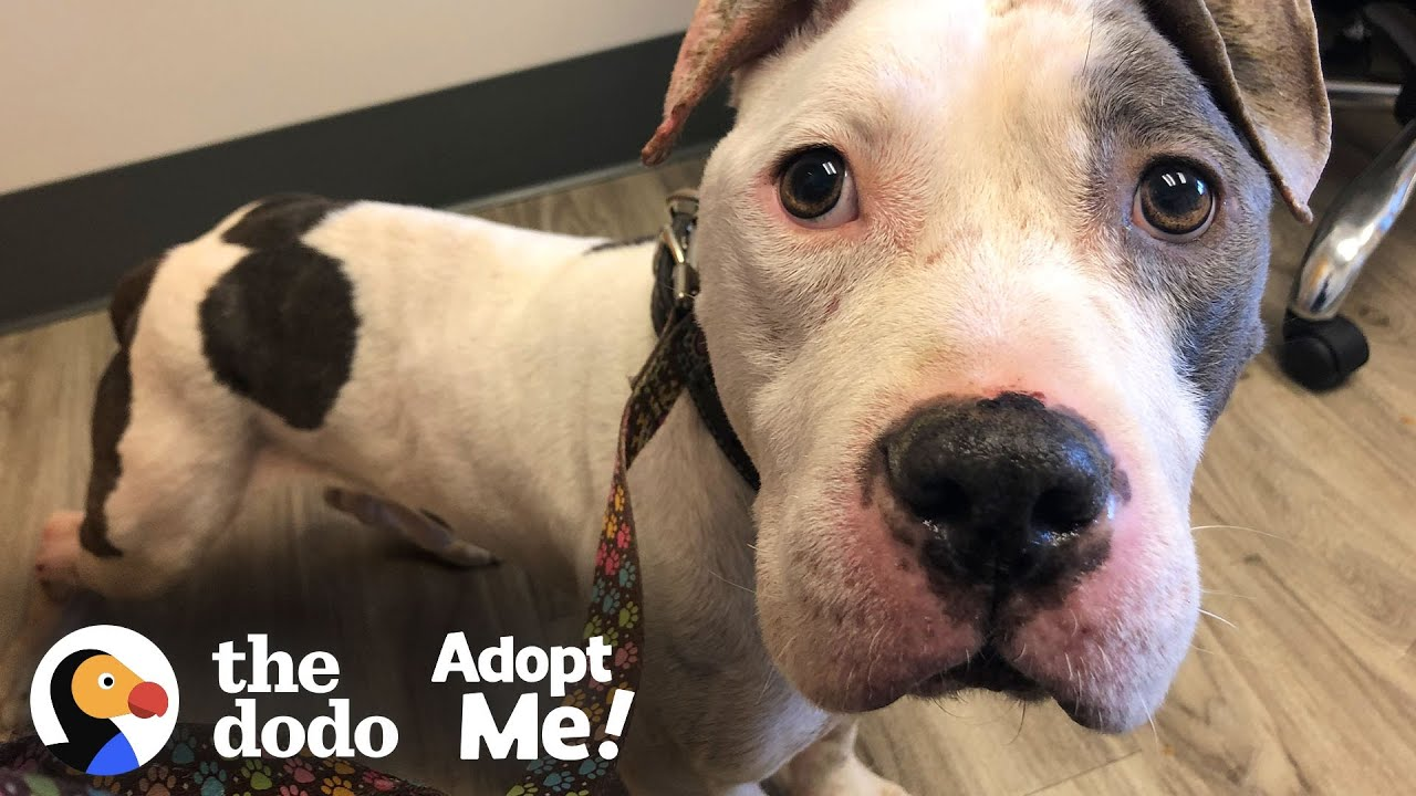 Skinny Abandoned Pittie Gets So Big And Handsome | The Dodo Adopt Me!